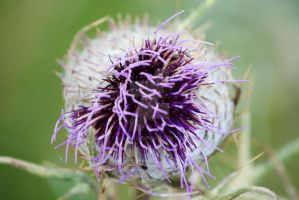 thistle by Frollino