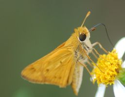 Fiery Skipper on Flower 3 by Larah88