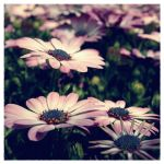Deckled Daisies by SweetMysterium