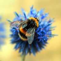 Bumble Bee by Adam-F