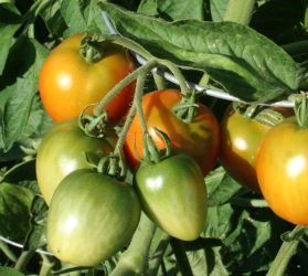 tomatoes on the vine by cyborgsuzystock
