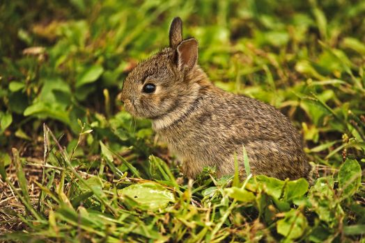 Baby Wild Rabbit 1 by MichelLalonde