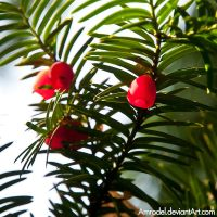 Yew Berries by amrodel
