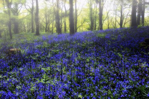 Bluebell Glow Reprise by Coigach