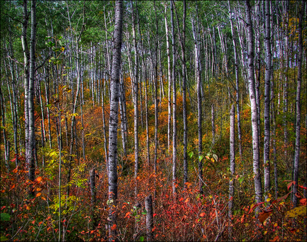 Autumn in the Aspens by wb-skinner