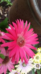 Pink Daisy by Foxface27