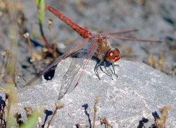 Red Dragonfly by Monkeystyle3000