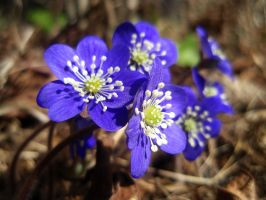 First hepaticas by Irkaaa