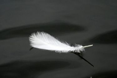 swan feather by Mittelfranke