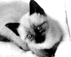 Chat BW by Made-in-Popsiinette