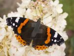 Red admiral by Surgephotography