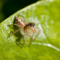 Jumping Spider by ironmanbr