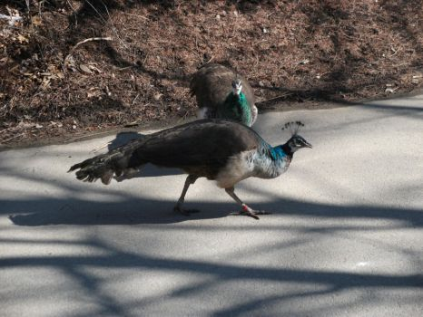 Peahen Stock by K-L-Designs