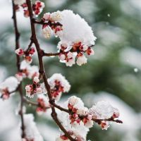 Apricot flowers and snow by BobRock99