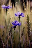 Corn Flowers by Justine1985