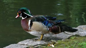 The Wood Duck by MichelLalonde