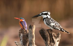 Little and Large Malachite and Pied Kingfisher by Jamie-MacArthur