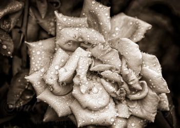 Raindrops on Rose by GothicAmethyst