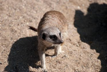 Inquisitive Meerkat by smsldoo