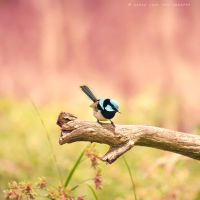 .:: Fairywren ::. by Whimsical-Dreams