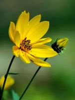 A Mellower Yellow by TimLaSure