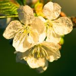 Cherry in Spring by Blickfanq