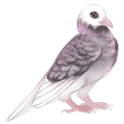 bald head black lace roller pigeon by edelilah