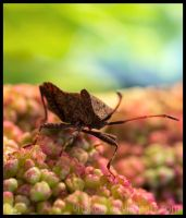 Coreus marginatus II by Vitskog