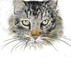 Main coon by totalserenity1