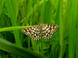 Chessboard moth by Stilleschrei
