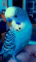 My budgie Lucky! by Explicit18