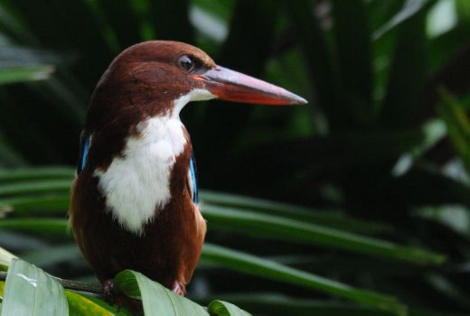 White -Throated Kingfisher.0281 by DPasschier