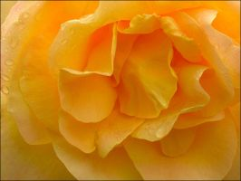 ORANGE ROSE 49 by THOM-B-FOTO