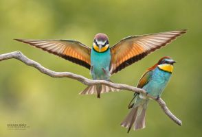 Bee eaters by BogdanBoev