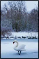 Winter Swan by doberman023