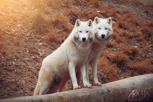 White Wolves by Arkus83