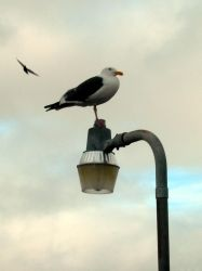Seagull on Lamp Post by Kicks02