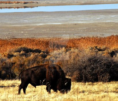 Autumn Bison Antelope Island by houstonryan