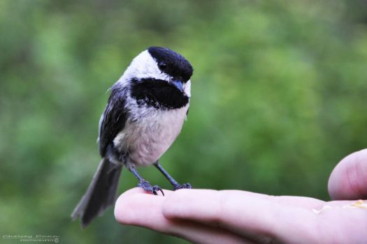 Black-capped Chickadee by Chelsey-Dunn