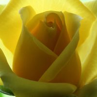 Yellow Rose 06 by s-kmp