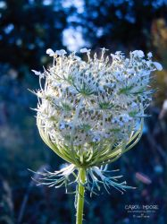 Wild Carrot by Carol-Moore