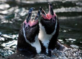 Every penguin can sing by Allerlei