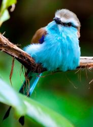 Racket-Tailed Roller by deseonocturno