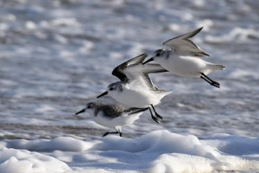 3803 Sanderlings by RealMantis