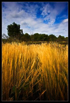 Golden Windy Grass by Wivelrod