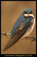 Tree Swallow by KSPhotographic