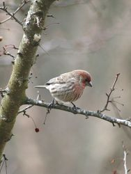 House Finch 2018 by Crematia18