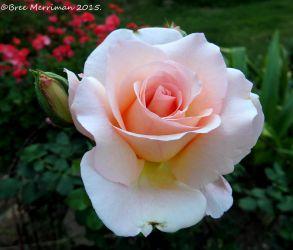 Peach Rose Flower by BreeSpawn