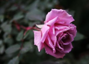 They call me The Wild Rose by VasiDgallery