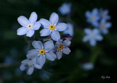 Myosotis sylvatica by Tuulikannel